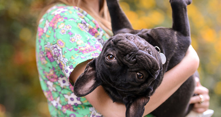 Alphie the Frenchie
