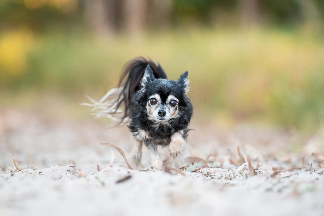 Chihuahua running on sand at Red Beach Bribie Island