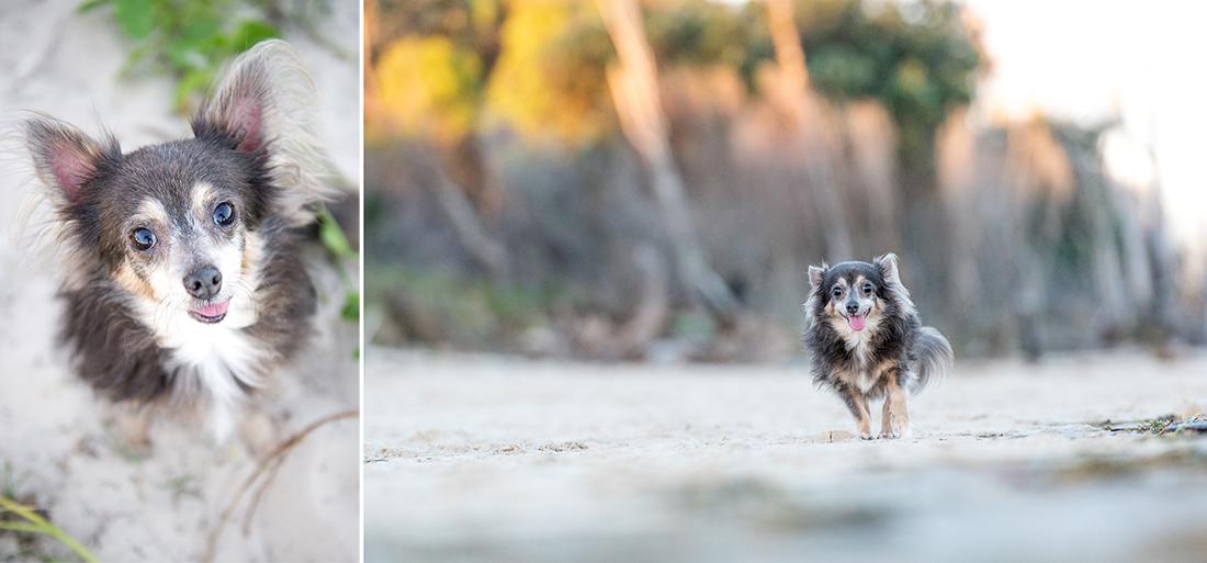 Meeko the Chihuahua at Bribie Island
